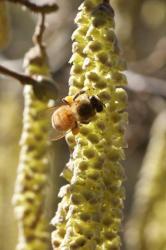 Butinage d'une fleur mâle