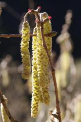 Fleurs mâles et fleurs femelles du noisetier