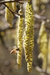 Vol sur fleurs mâles du noisetier