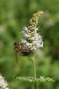 Butinage d'une fleur de menthe à feuille ronde