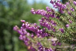 Bruyère cendrée en fleurs