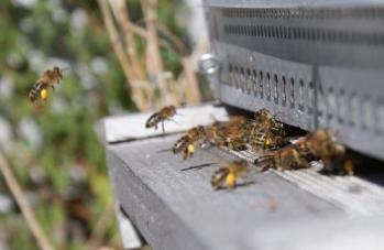 Abeilles rentrant du pollen
